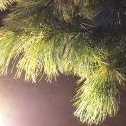 Pines in Light, Ann Grasso Fine Art