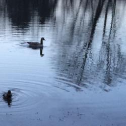Duck with Broken Wing and Vigilant Protector, Ann Grasso Fine Art