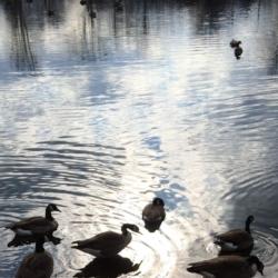 Geese on Silver Water, Ann Grasso Fine Art