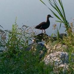 Duck in Silhouette, Ann Grasso Fine Art