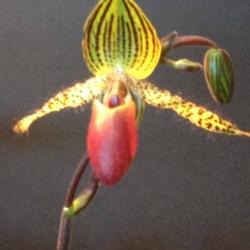Orchid, Ann Grasso Fine Art