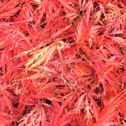 Split Leaf Maple, Ann Grasso Fine Art